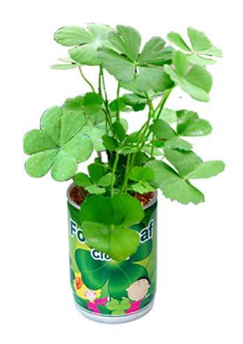 trèfle à 4 feuilles à faire pousser