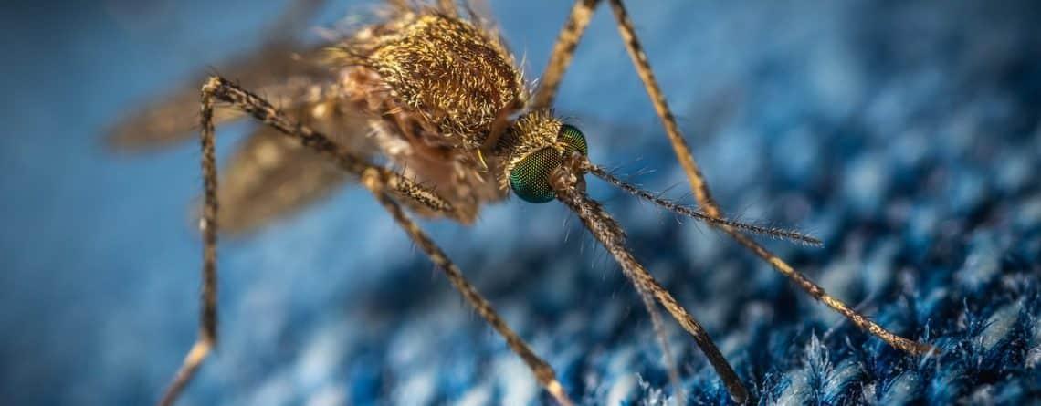 moustique insolite